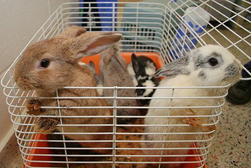 spay neuter a rabbit
