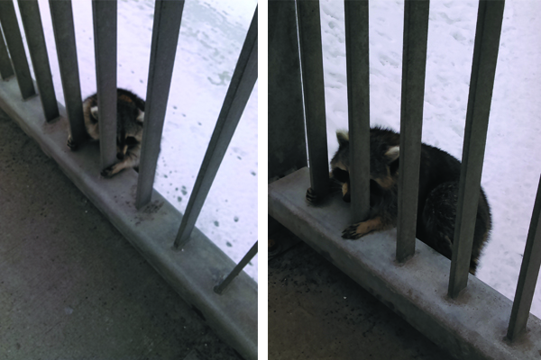 raccoon on bridge